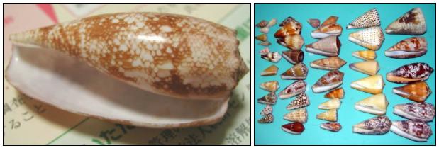 イモガイの貝殻は様々な模様をしている