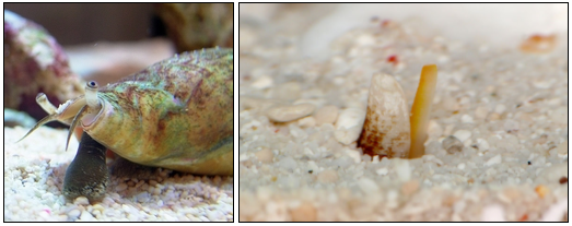 イモガイの顔アップ(左)、土の中に潜って獲物を待ち構えるイモガイ(右)