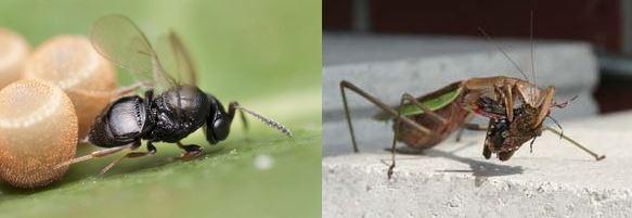 カメムシの天敵はカマキリや寄生蜂