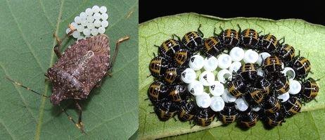 カメムシの卵と産卵