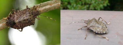 カメムシの生態と対策