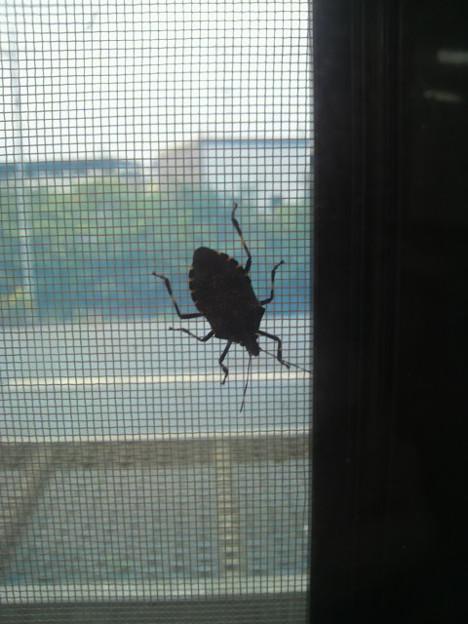 網戸の内側にカメムシが侵入してくる