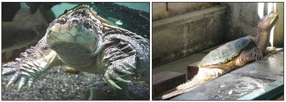 カミツキガメの攻撃性
