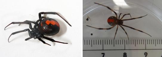 セアカゴケグモの大きさの特徴