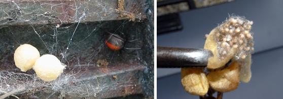 セアカゴケグモの卵