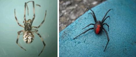 セアカゴケグモのオスとメス