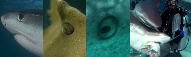 サメの目と眼球とまぶた
