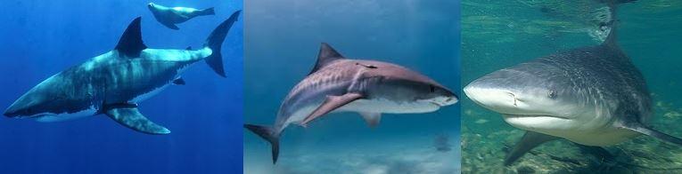 人間にとって危険なサメはホオジロザメとオオメジロザメとイタチザメ