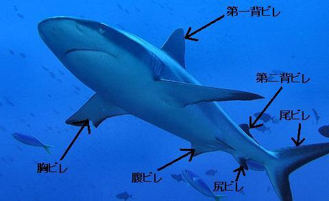 サメのヒレ