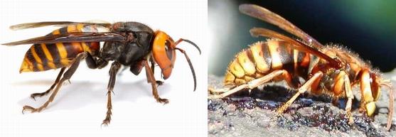 オオスズメバチとキイロスズメバチ