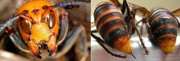 スズメバチの強靭な顎と毒針