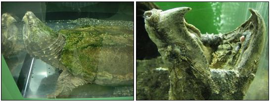 ワニガメの生態