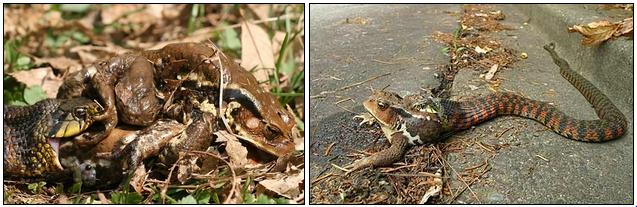 大きなヒキガエルを丸呑みにする途中のヤマカガシ