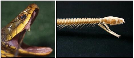 ヤマカガシの牙と骨
