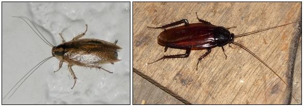 クロゴキブリとチャバネゴキブリ