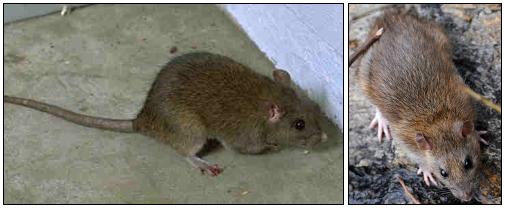ドブネズミの身体的特徴