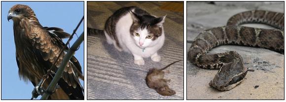 ドブネズミの天敵