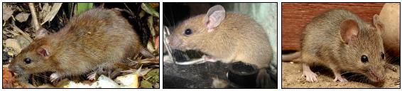 ドブネズミとハツカネズミとクマネズミの見分け方