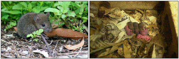 クマネズミの生活と繁殖