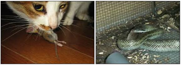 クマネズミの食事と天敵