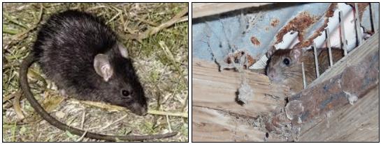 クマネズミの害