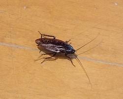 クロゴキブリの生態
