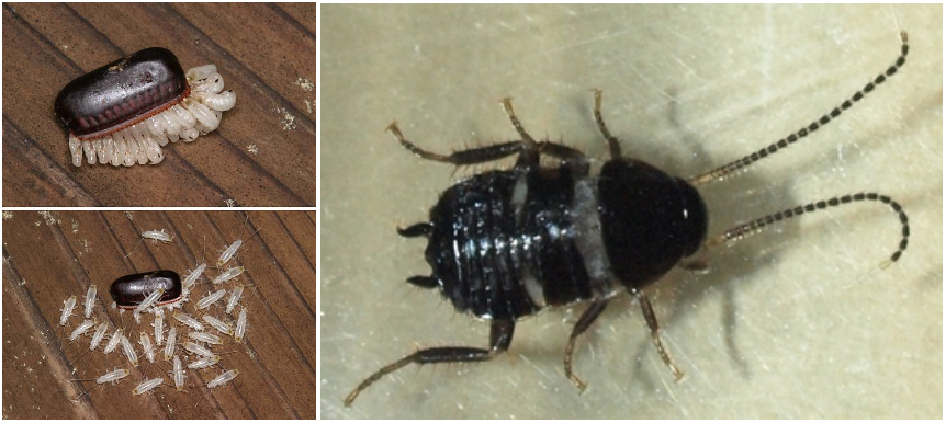 クロゴキブリの孵化と幼虫