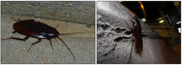 クロゴキブリが他の仲間を引き寄せる
